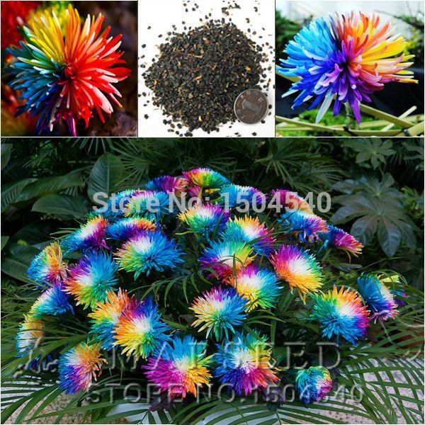 20 Rainbow Chrysanthemum Flower Seeds rare color Home Garden flower plant
