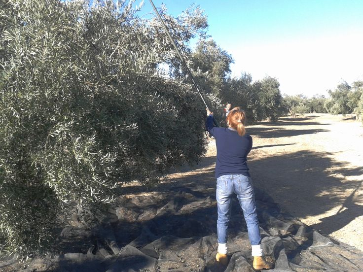 Become an olive oil farmer fro one day with this total experience!  #oliveoil #harvesting #olive #groves #gastrotourism #Spain #oleoturismo  www.oleicolasanfrancisco.com www.oleoturismojean.com Olive Oil Tourism - International Department: international@oleoturismojaen.com