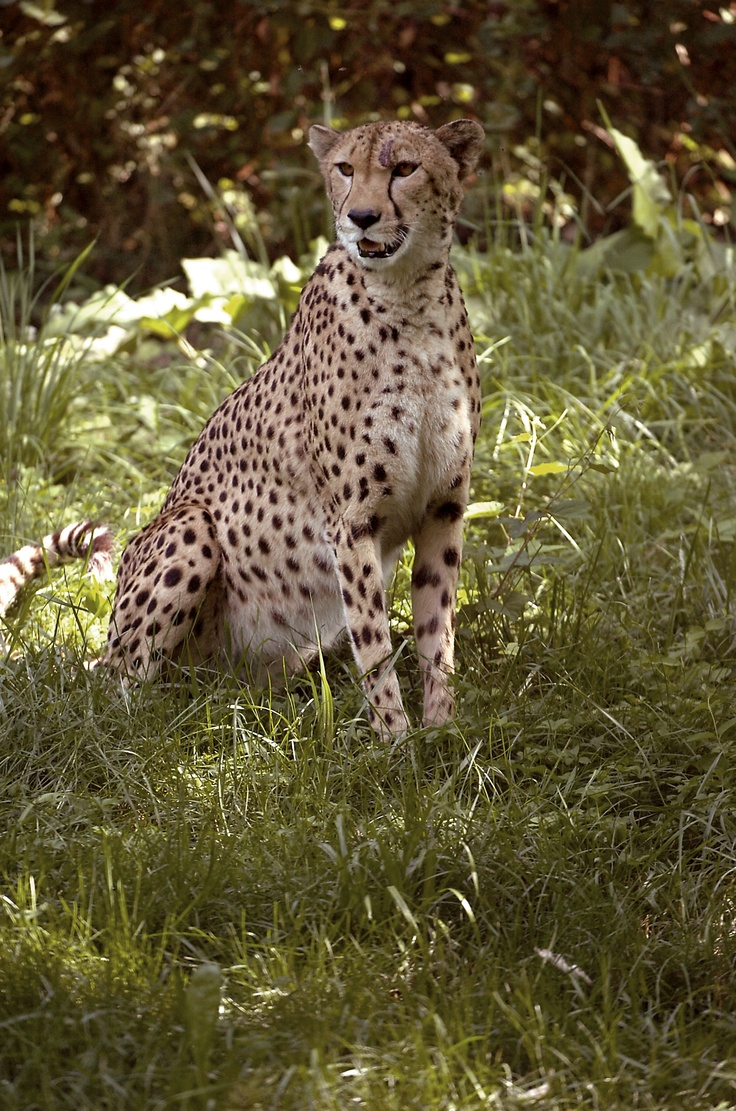 26 best cheetah images on pinterest animals big cats and wild