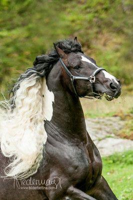Barockpinto - Pferdefotografie, Hundefotografie,  Bettina Niedermayr Pferde - Mensch & Pferd - Hunde- Portrait - Stallschilder - Kalender, Pferdekalender, Haflingerkalender mit Kohlfuchs Liz. Steiermark