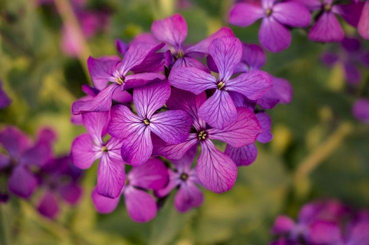 Λουλούδι, Μωβ, Άνοιξη, Μωβ Λουλούδια, Φύση, Άνθιση