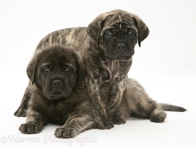 Brindle English Mastiff pups