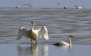 Trumpeter Swans congregate on the shores of Marsh Lake