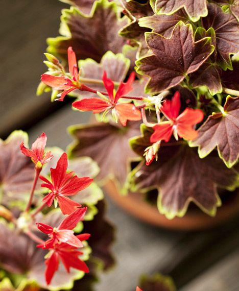 Tähtipelargonin, Vancouver Centennial, lehdet ovat vihreäreunaiset, tumman punaruskeat. Kukka on yksinkertainen, sinooperinpunainen. / Geranium Vancouver Centennials flowers look like stars. Kuva/pic: Sari Tammikari