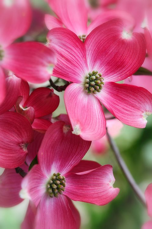 ~~Flowering Dogwood - Cornus florida rubra | Matthew Graham Photography~~