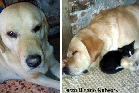 S. LUCIA DI PESCANTINA (VR): SMARRITO BENNY, CANE LABRADOR COLOR CREMA http://www.terzobinarionetwork.com/2015/09/s-lucia-di-pescantina-vr-smarrito-benny.html
