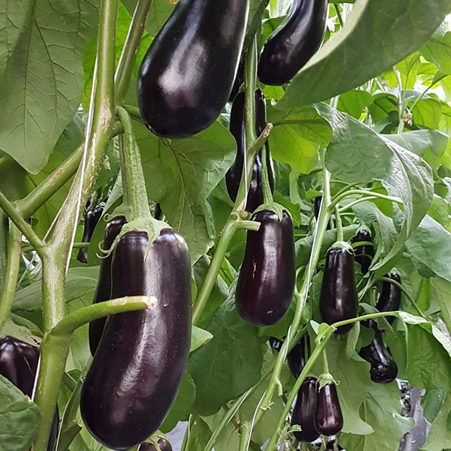 Ever wondered where eggplants got their name from? They are called 'eggplant' in three countries, the US, Australia, and Canada, because the first varieties of eggplants (aubergines) in those countries were smaller and were a white or yellow colour and shaped like an egg. #eggplant #aubergine #nightshadefamily #aussiefarming #greenhouse #farming #carterandspencer