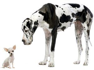 The Truth About Purebred Dogs -Michele Welton, yourpurebredpuppy.com--   Should you get a purebred dog? B/f decide, there are negatives act purebred dogs that you should know. You may be convinced you want a purebred.  But my 35+yrs experience as a Dog Breed Consultant taught me that people ... often basing decision on the positive things about purebred dogs – without considering the negatives. And there are definitely negatives.