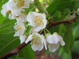 De kiwibes: een mooi bloeiende klimplant met lekkere en gezonde vruchten - Tuin Tips