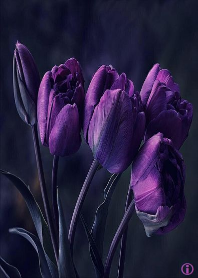 purple tulips #not orchids