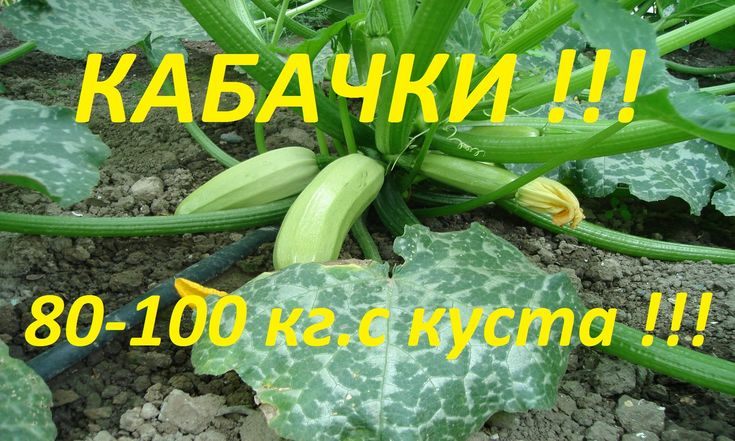 ! Как вырастить 80-100 кг кабачков с куста, с ранней весны, и до поздней о...