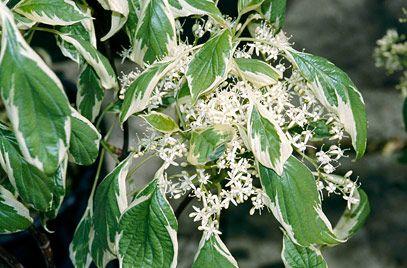 rhs plant selector cornus controversa 39 variegata 39 v agm. Black Bedroom Furniture Sets. Home Design Ideas
