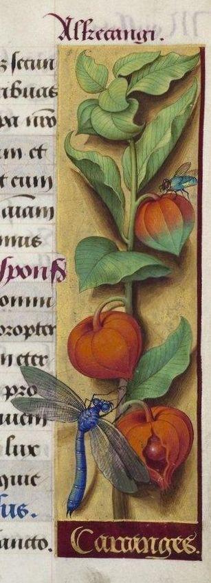 Jean Bourdichon, Alchechengi. Gran Libro d'Ore di Anna di Bretagna, 1503-1506…