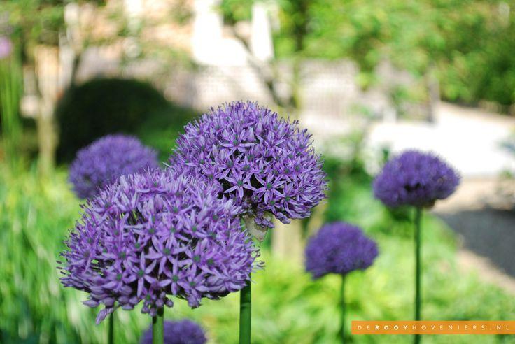 Tuin idee De Rooy Hoveniers stadstuin tuin van het jaar 2014 bloemen allium Woudrichem