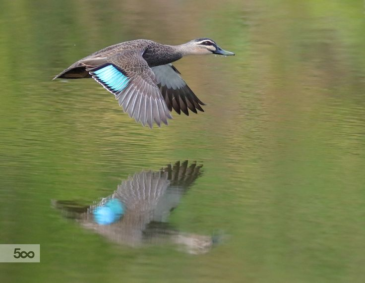 270 best Un pato images on Pinterest | Nature, Ducks and Duck hunting
