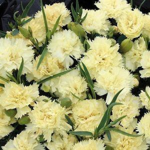 Dianthus Caryophyllus Yellow Carnation Caryophyllusflower Seedsyellow Flowerspastel