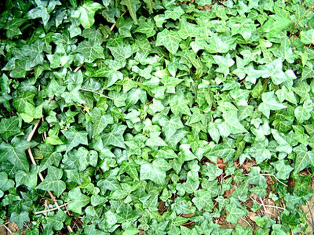 Ivy (Hedera) is a plant everyone knows. Widely used as a ground cover, it also makes a great hanging houseplant. English ivy (Hedera helix) is hardy from USDA Zones 4 to 9, while...