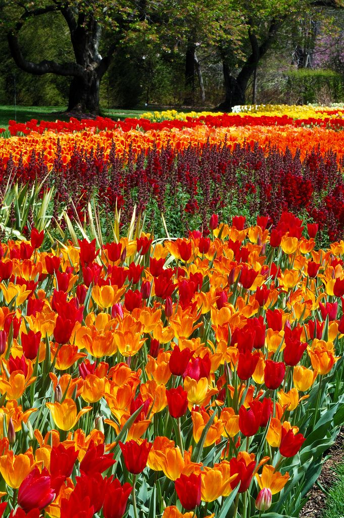 Tulips ! I would Love to visit Holland someday & see this with my own eyes !!