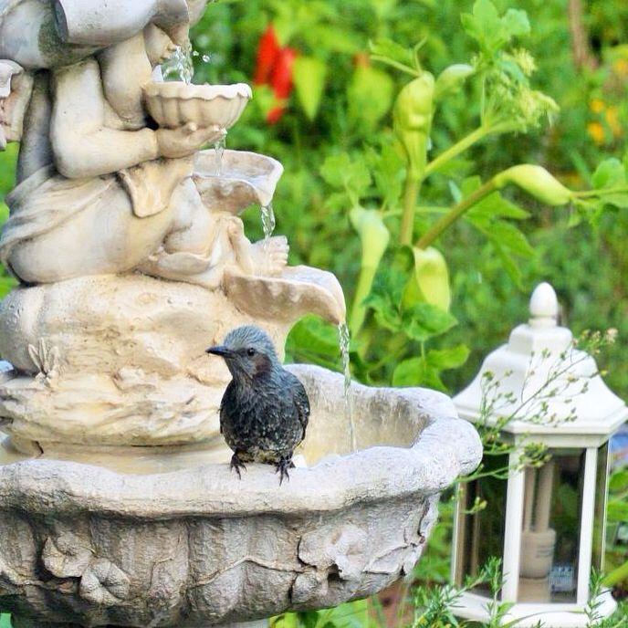 水浴びにやってくるヒヨドリ