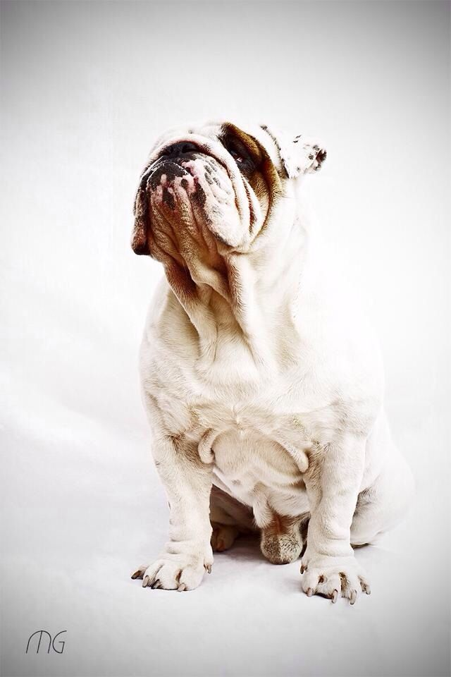 Rocky par Marina Garrido #Bouledogue anglais #english bulldog
