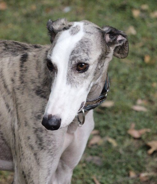 10 Cool Facts About Greyhounds - and isn't this hound beautiful?!!