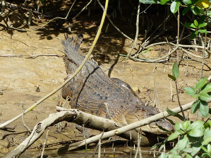 Wild crocodiles in the Daintree River