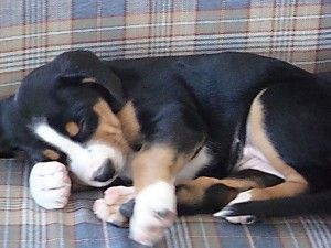 greater-swiss-mountain-dog-puppy
