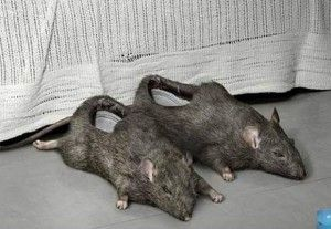 How about some rat slippers!