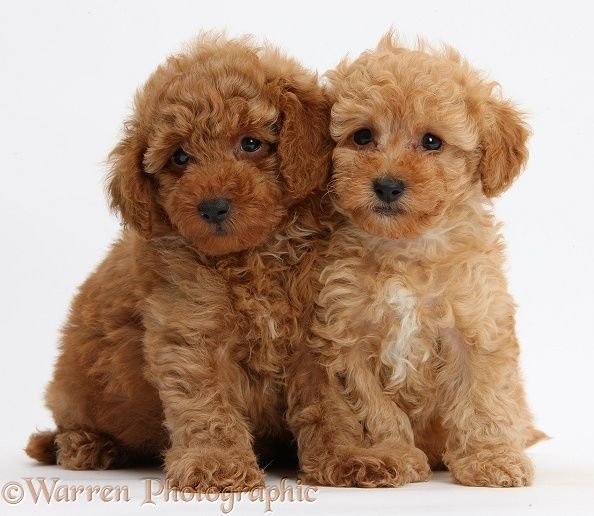 Photograph Of Two Cute Red Toy Poodle Puppies 8 Weeks Old