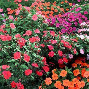 39 best images about amazing sunpatiens impatiens for Plants that love sun and heat