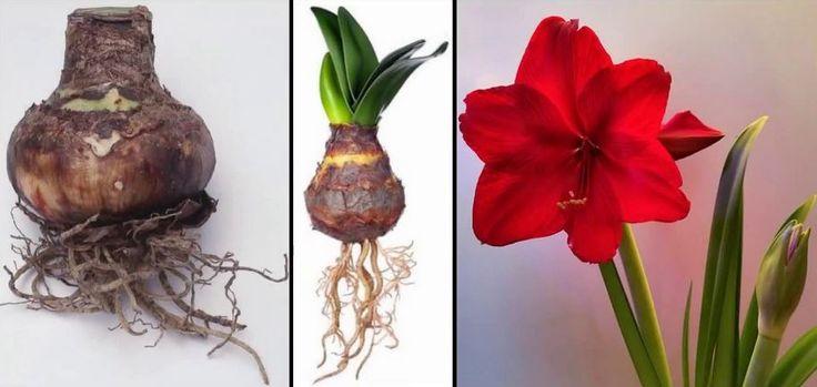 Amaryllis este una dintre cele mai indragite plante de apartament. Florile mari si intens colorate sunt un punct de atractie in orice locuinta, mai ales in timpul iernii, cand majoritatea florilor intra in repaus vegetativ. Perioada de plantare a Amaryllisului incepe in luna octombrie si se incheie la sfarsitul lunii aprilie. Daca te decizi sa plantezi Amaryllis la inceputul lunii noiembrie, ai toate sansele ca planta ta sa infloreasca de Craciun.
