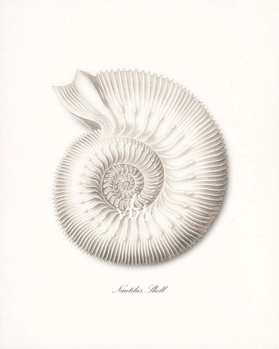 Coastal Decor Ernst Haeckel Nautilus Sea Shell Art Print, Natural History Nautical Wall Decor 8x10