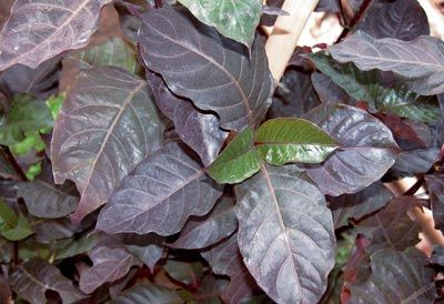Leaves Wungu (Graptophyllum pictum (L).  Wungu leaves (or in some literature called purple leaf) contains a non-toxic alkaloids, glikosod, steroids, saponins, tannins and mucilage. Saponins that have this as a mild laxative effect (mild laxative).