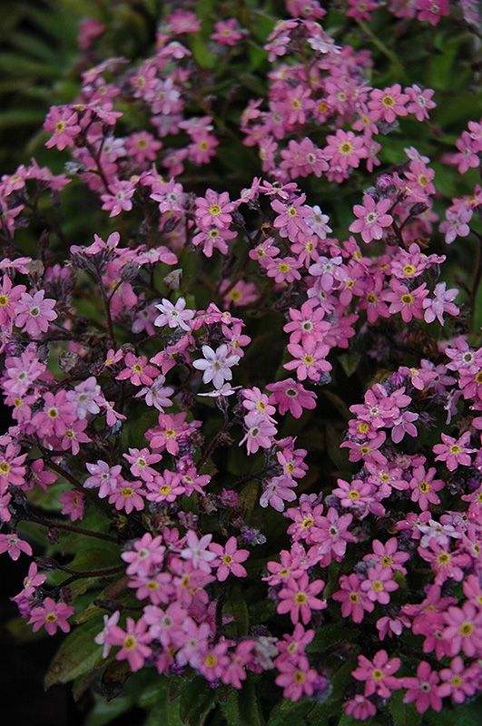 Click to view full-size photo of Victoria Rose Forget-Me-Not (Myosotis sylvatica 'Victoria Rose') at Plant World