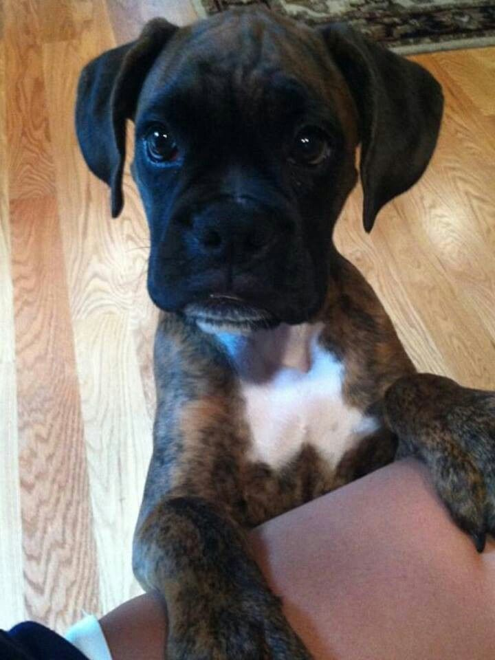 Boxer Energetic And Funny Boxer Puppies Boxer Dogs Brindle Boxer Dogs
