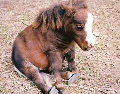 Thumbelina, the world's smallest horse weighs 60 pounds. The height of this dwarf horse is only 17 inches. Aww!