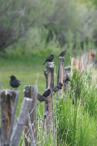 Fence Post and black birds