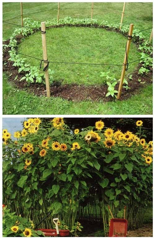 Plant A Ring Of Sunflowers To Make A Sunflower House It S