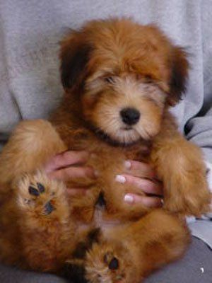 Soft Coated Wheaten Terrier                              …