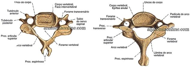 5º Vértebra cervical – vista superior 7º Vértebra cervical – vista superior