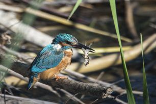 Kingfisher eating a frog