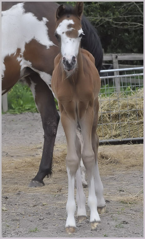 Curly Sue  Riding Pony X Paint filly