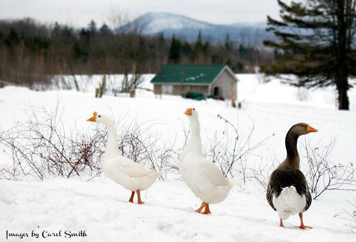 winter walk with friends, by Carol Smith