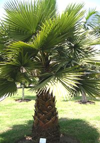 california fan pallm Top 10 Cold Hardy Palm Trees