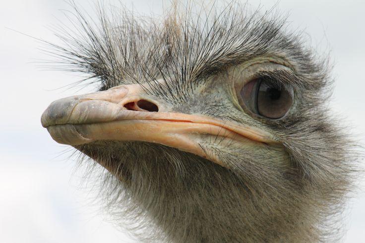 Leer alles over de struisvogel van kuiken tot volwassen struisvogel bij struisvogelboerderij Monnikenwerve! www.struisvogel.nl