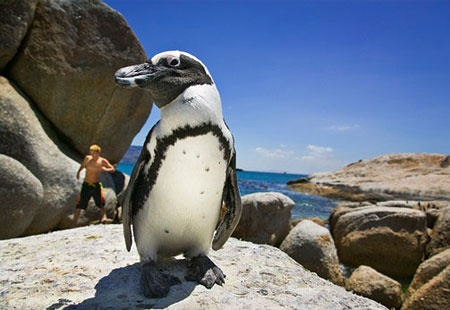 African Penguins on Boulders Beach, South Africa