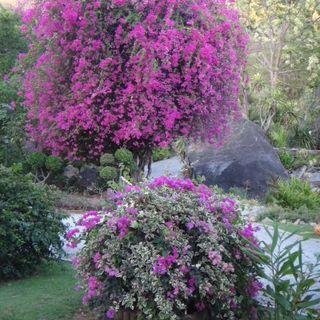 Giant bougainvillea tree