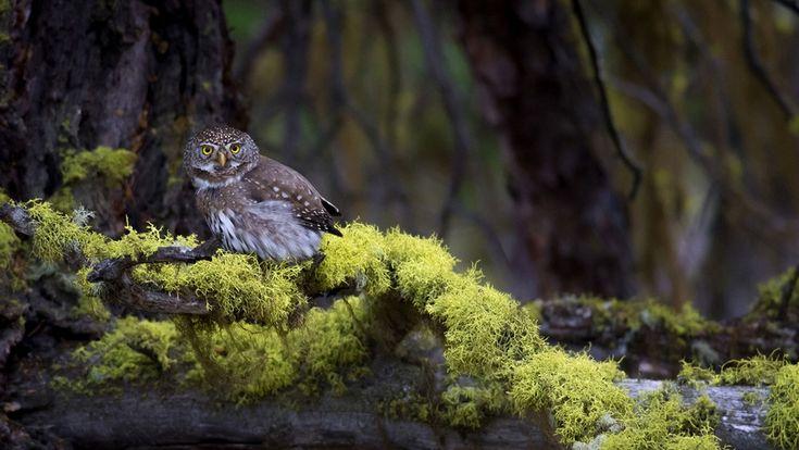 Búho Paseriforme de California. A diferencia de muchas especies relacionadas que cazan de noche o al atardecer, confiando en la audición o la visión nocturna, la lechuza californiana caza por la tarde y se basa principalmente en su visión. Otra diferencia entre este búho y otros búhos es su vuelo ruidoso. Foto de Mary Madden.