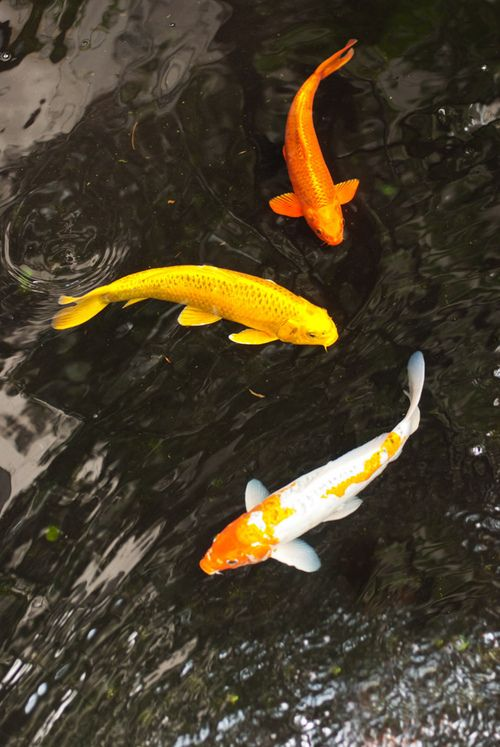 166 best fish images on pinterest pisces fish and fishing for Japanese koi fish wholesale