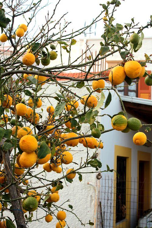 Lemon tree. Patmos, Greece